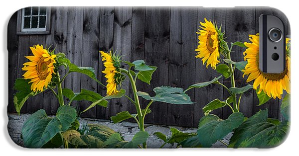 Southern New England iPhone Cases - Sunflower Quartet iPhone Case by Bill  Wakeley