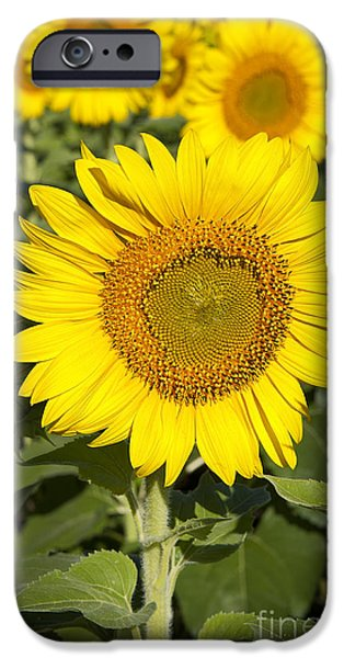 Floral Photographs iPhone Cases - Sunflower Standout iPhone Case by Lee Craig