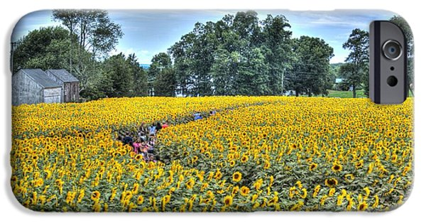 Buttonwood Farm iPhone Cases - Sunflower trail iPhone Case by Marcel  J Goetz  Sr