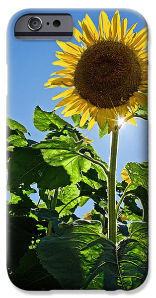 Buttonwood Farm iPhone Cases - Sunflower with Sun iPhone Case by Donna Doherty