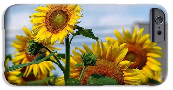 Buttonwood Farm iPhone Cases - Sunflowers 1 2013 iPhone Case by Edward Sobuta