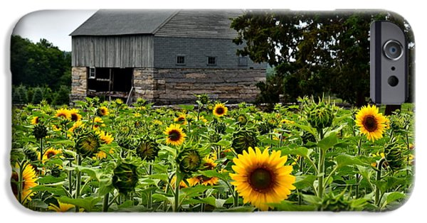 Buttonwood Farm iPhone Cases - Sunflowers iPhone Case by Brian Mooney