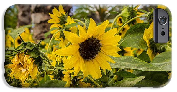 Garden iPhone Cases - Sunflowers In Bloom iPhone Case by Martin Newman