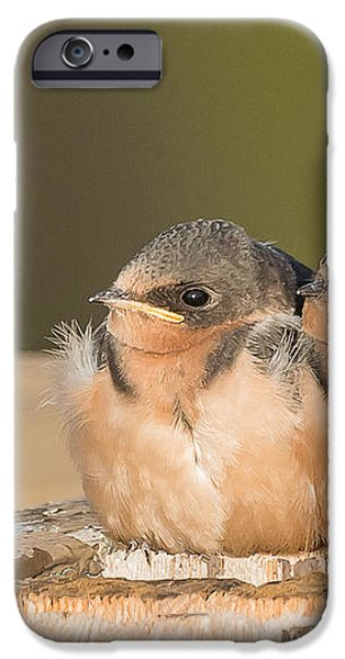 Swallow Chicks iPhone Case by Yeates Photography
