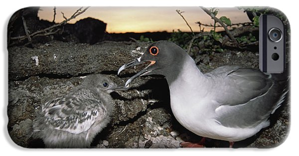 Swallow Chicks iPhone Cases - Swallow-tailed Gull And Chick In Pebble iPhone Case by Tui De Roy