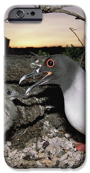 Swallow-tailed Gull And Chick In Pebble iPhone Case by Tui De Roy
