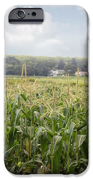 Sweet Corn Farm iPhone Cases - Sweet corn grows on a Connecticut farm iPhone Case by Marianne Campolongo