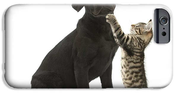 Mixed Labrador Retriever iPhone Cases - Tabby Male Kitten & Black Labrador iPhone Case by Mark Taylor