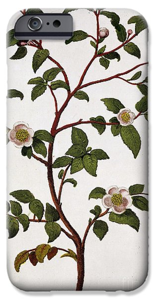 Camellia iPhone Cases - Tea Branch of Camellia sinensis iPhone Case by Anonymous