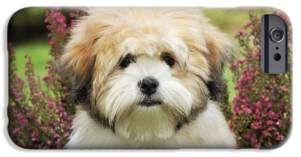 Dog Close-up iPhone Cases - Teddy Bear Dog iPhone Case by John Daniels