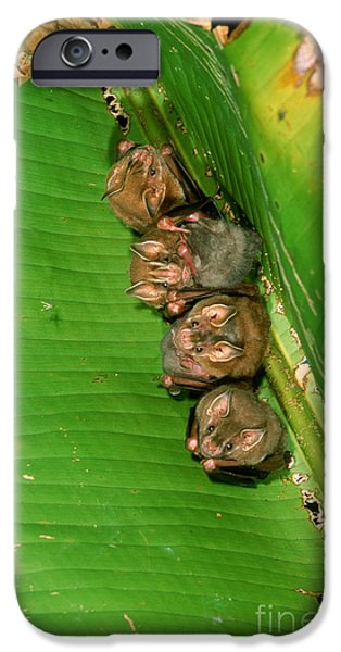 Bat iPhone Cases - Tent-making Bats iPhone Case by Gregory G. Dimijian, M.D.