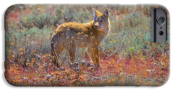 Coyote Art iPhone Cases - Teton Coyote iPhone Case by Greg Norrell