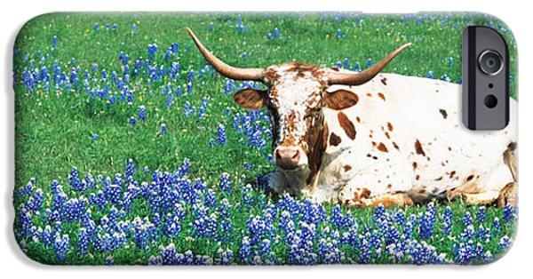 Texas Longhorn iPhone Cases - Texas Longhorn Cow Sitting On A Field iPhone Case by Panoramic Images