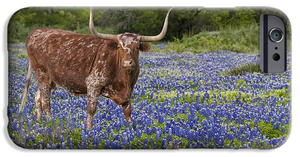 Stock Images iPhone Cases - Texas Longhorn in Texas Bluebonnets 4 iPhone Case by Rob Greebon