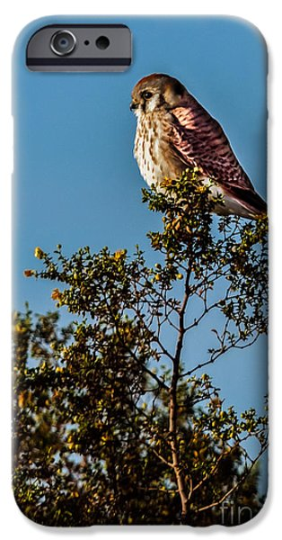Slash iPhone Cases - The American Kestrel  iPhone Case by Robert Bales