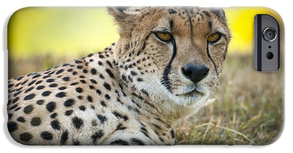 Large Cats iPhone Cases - The Cheetah in Grass iPhone Case by Chad Davis