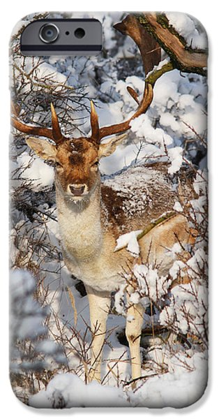 Wintertime Photographs iPhone Cases - The Christmas Deer - Fallow Deer in the Snow iPhone Case by Roeselien Raimond
