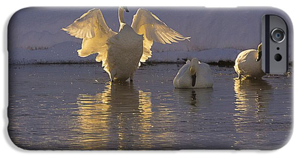 Swans... iPhone Cases - The Conductor iPhone Case by Priscilla Burgers