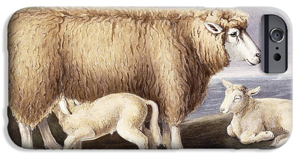 Agricultural Drawings iPhone Cases - The Cotswold Breed iPhone Case by David Low