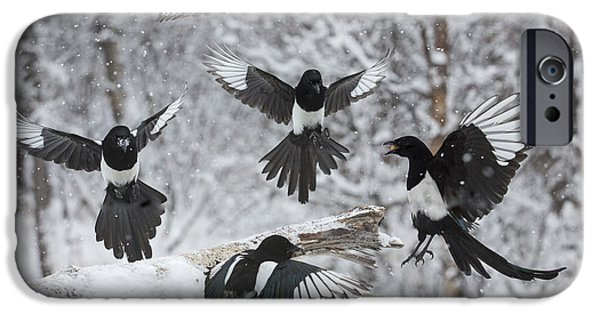 Magpies iPhone Cases - The Feeding Frenzy iPhone Case by Tim Grams