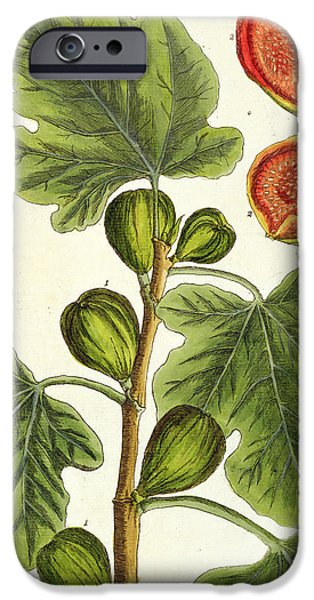 Beautiful Drawings iPhone Cases - The Fig Tree iPhone Case by Elizabeth Blackwell