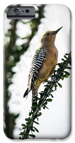 Arizonia iPhone Cases - The Gila  Woodpecker iPhone Case by Robert Bales