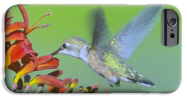 Canna iPhone Cases - The Humming Bird Sips  iPhone Case by Jeff  Swan