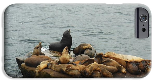 Harem Photographs iPhone Cases - The Sea Lion and His Harem iPhone Case by Mary Machare