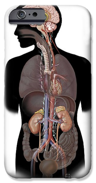 Human Survival iPhone Cases - The Sympathetic Nervous System iPhone Case by TriFocal Communications