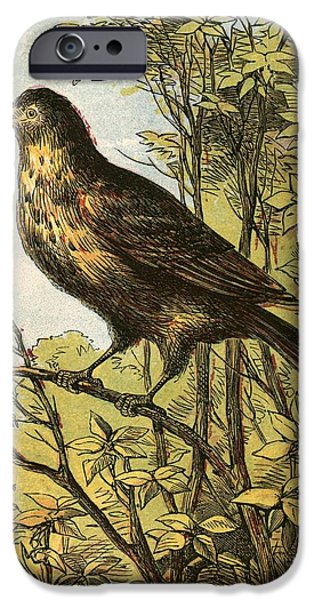 Cock iPhone Cases - The Thrush iPhone Case by English School
