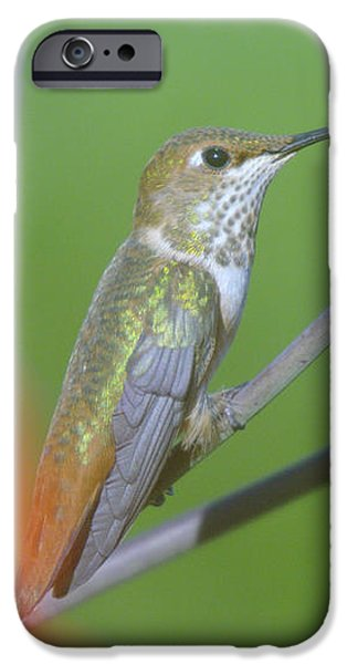 The tongue of a humming bird  iPhone Case by Jeff  Swan