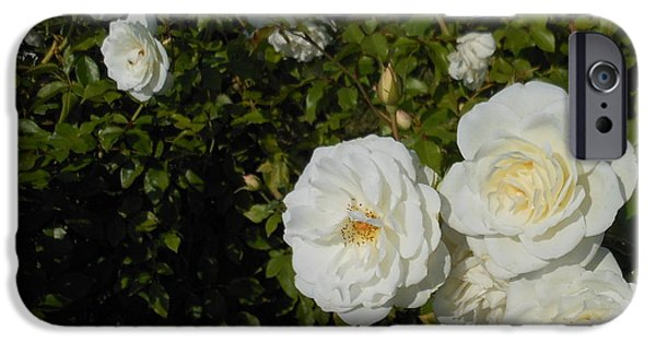 Windy Point Winery iPhone Cases - The White Rose is a Dove iPhone Case by Kay Gilley