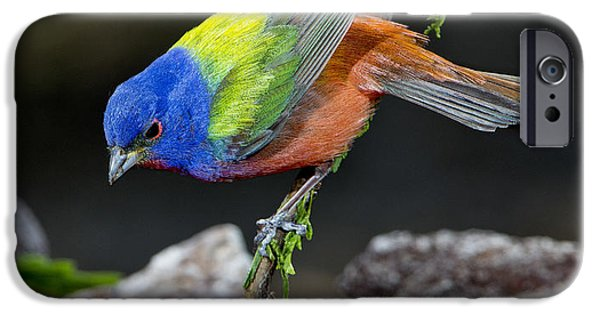 Bunting iPhone Cases - Thirsty Painted Bunting iPhone Case by Anthony Mercieca