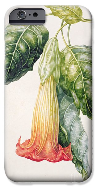 Flora Drawings iPhone Cases - Thorn Apple flower from Ecuador Datura rosei iPhone Case by Augusta Innes Withers