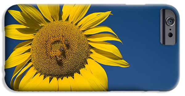 Nature Study iPhone Cases - Three Bees and a Sunflower iPhone Case by Adam Romanowicz