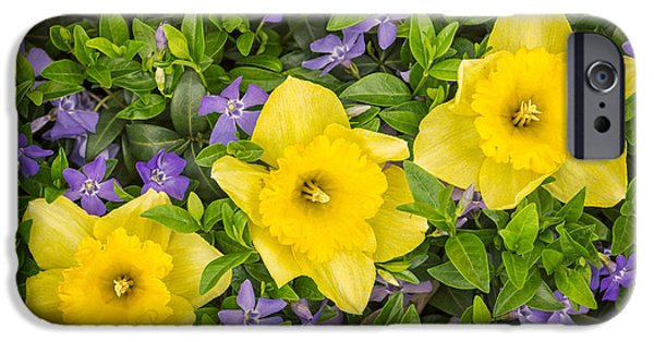 Blossom iPhone Cases - Three Daffodils in Blooming Periwinkle iPhone Case by Adam Romanowicz