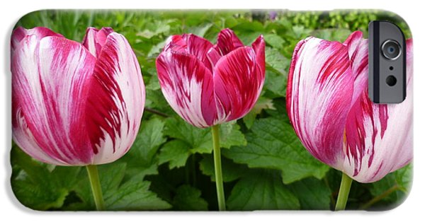 Painter Photographs iPhone Cases - Three Pink Rembrandt Tulips iPhone Case by Lingfai Leung