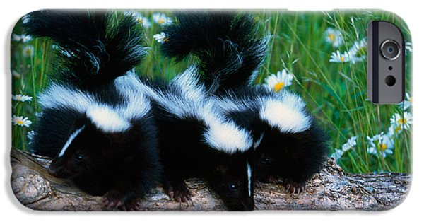 Meadow Photographs iPhone Cases - Three Young Skunks On Log In Wildflower iPhone Case by Panoramic Images
