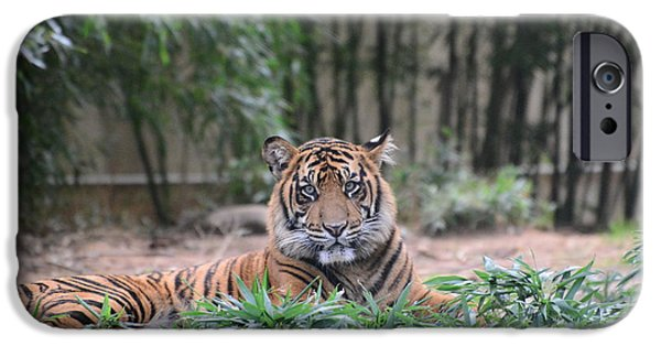 Stripes iPhone Cases - Tiger in the zoo iPhone Case by Christie  Wilson