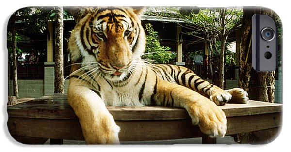 The Tiger iPhone Cases - Tiger Panthera Tigris In A Tiger iPhone Case by Panoramic Images