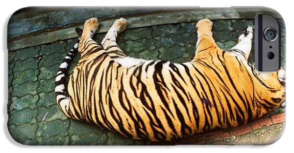 The Tiger iPhone Cases - Tiger Panthera Tigris Sleeping iPhone Case by Panoramic Images