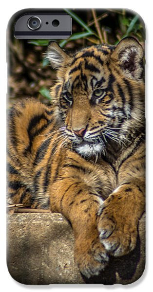 Smithsonian iPhone Cases - Tiger iPhone Case by Randy Scherkenbach