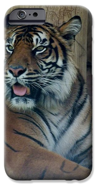 Stripes Pastels iPhone Cases - Tiger time out. iPhone Case by Sandra Sengstock-Miller