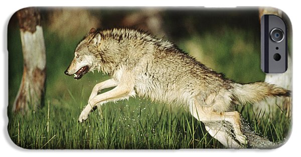 Wolf Photographs iPhone Cases - Timber Running Through Water iPhone Case by Tim Fitzharris