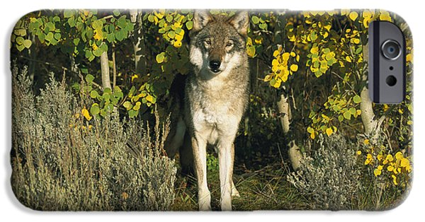Wolf Photographs iPhone Cases - Timber Wolf Among Aspens Idaho iPhone Case by Tom Vezo