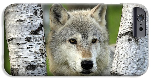 Wolf Photographs iPhone Cases - Timber Wolf Between Birch Trees iPhone Case by Jurgen and Christine Sohns