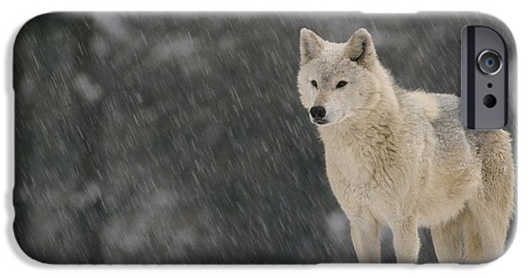 Winter Storm iPhone Cases - Timber Wolf Female North America iPhone Case by Gerry Ellis