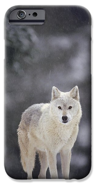 Wolf Photographs iPhone Cases - Timber Wolf In Falling Snow iPhone Case by Gerry Ellis
