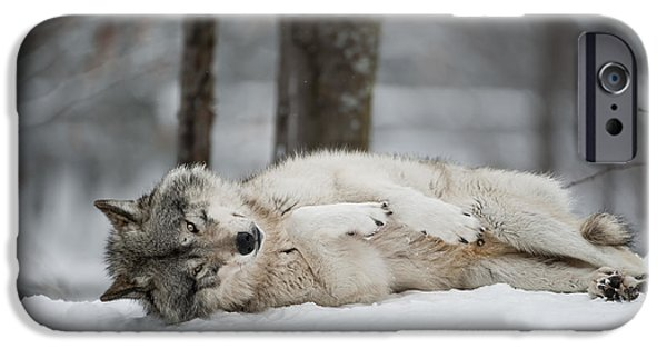 Loup Photos iPhone Cases - Timber Wolf in Winter iPhone Case by Wolves Only