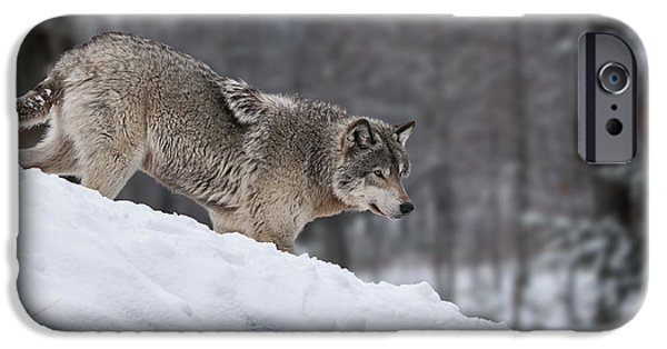 Loup Photos iPhone Cases - Timber Wolf on Hill iPhone Case by Wolves Only